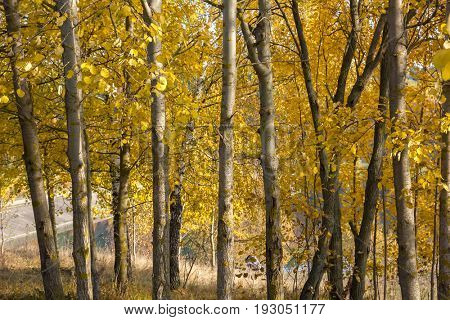 European aspen (Populus tremula) grove in autumn.