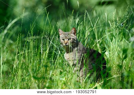 gray striped domestic cat sitting in the grass