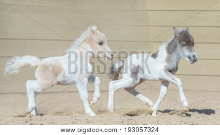 American miniature horse. Two newly born pinto foals on walk.