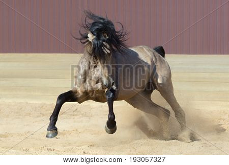 Purebred Andalusian horse playing on sand. Front view.