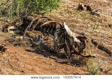 Gnawed skeleton of a buffalo. Sunny day in the Kruger National Park, South Africa