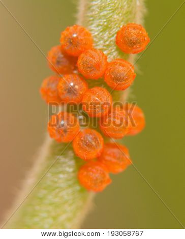 Cluster of Pipevine Swallowtail butterfly eggs on a Pipevine stalk