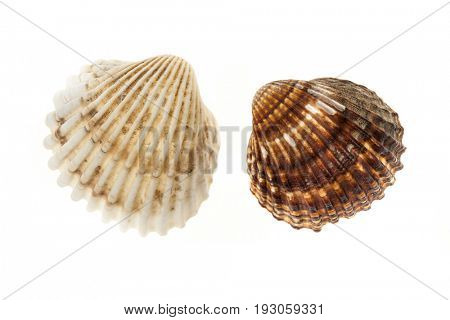 Two brown and beige cockle seashells isolated on white background, closeup.
