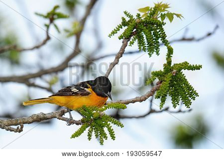 A Baltimore Oriole perched on a budding tree branch