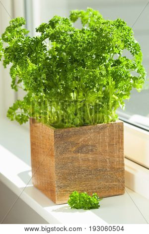fresh parsley herb in wooden pot on window