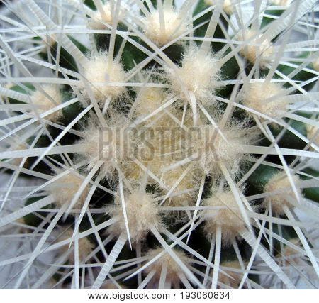 Cactus with white prickles.