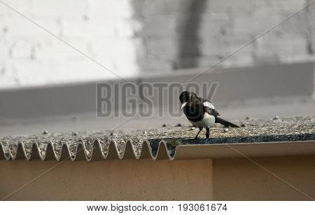 The (thieving) magpie is looking for possible food