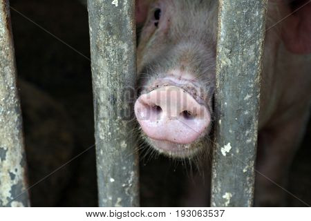 Pig's snout in between the bars A pig's snout pushing out from in between the steel bars of a pigsty