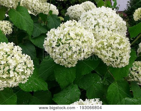 White hydrangea in the garden The panicle White on a green background