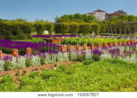 an expanse of purple sage flowers and stachys lanata in the vegetable -garden of Venaria's royal palace near  Turin , in Piedmont (ITALY)  / a corridor of purple sage flowers and stachys lanata sunlit