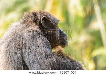 close up face  of a male chimpanzee.