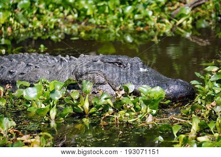 An alligator lurks in the bayou outside of New Orleans, Louisiana.