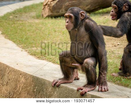 A baby chimpanzee playing at a zoo in Kolkata,India