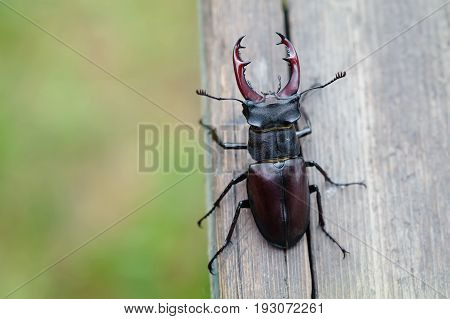 Stag beetle Lucanus cervus on wooden background. Red List rare insect macro view, shallow depth field