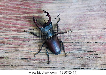 Stag beetle Lucanus cervus on wood. Red List rare insect macro view, shallow depth field. Selective focus.