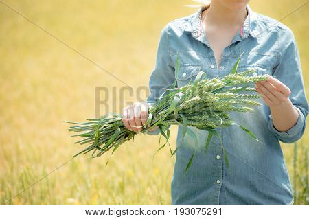 An agronomist working on summer field with growing wheat. Young woman taking harvest for analysis