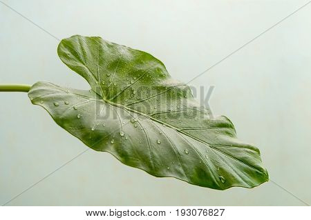 leaf of Calla Lily flower, Close-up view,