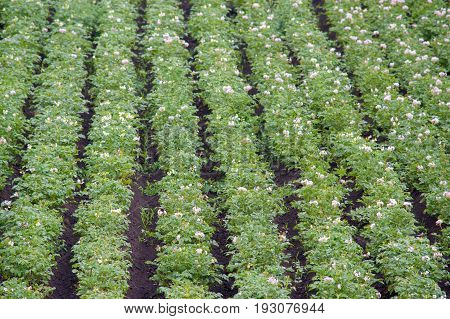 Field of flowering potatoes. The Summer season