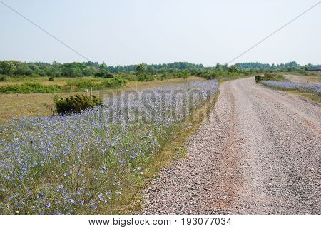 Roadside with blossom blue flax flowers at the swedish island Oland