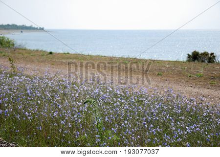 Blossom blue flax wildflowers by the coast at the swedish island Oland