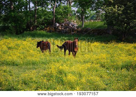 Grazing horses among colorful blossom buttercup flowers at the swedish countryside
