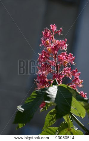 Red horse-chestnut,  Aesculus hippocastanum or Conker tree with flower and leaf, Sofia, Bulgaria