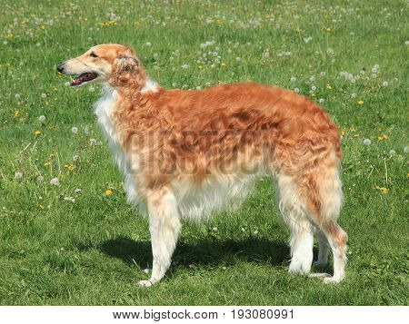 Typical Borzoi Russian hunting Sighthound on the meadow