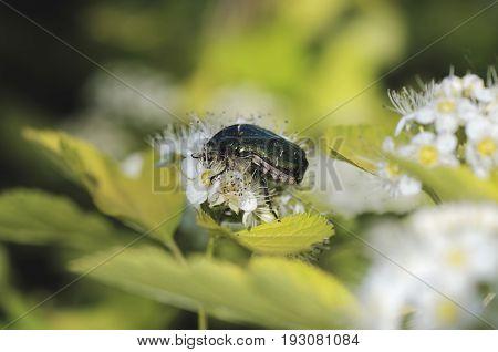 Rose chafer (Cetonia aurata) beetle on Common ninebark (Physocarpus opulifolius).