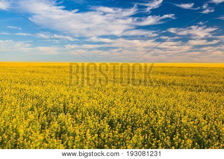 Rapeseed field in the Czech Republic countrysideat sunset