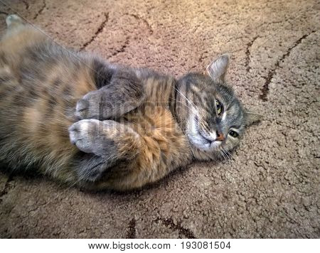The domestic gray cat bending its paws lies on its back on the carpet