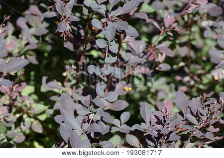 Barberry twigs (Berberis) closeup. Abstract nature background.