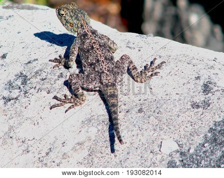 Southern Rock Agama lizard in Table Mountain National Park,  Cape Town, South Africa