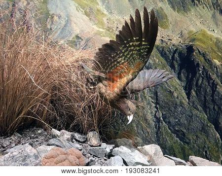 Kea Mountain Parrot Flying