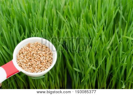 Microgreens Growing Panoramic Wheat-grass Blades Scoop Red Wheat Berries