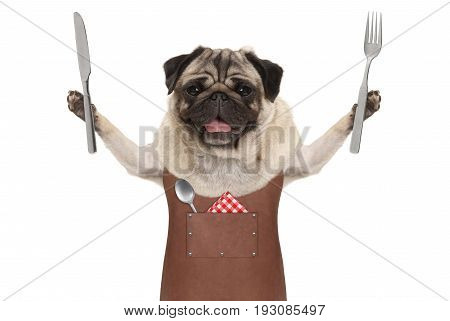 smiling pug dog wearing leather barbecue apron holding up cutlery for eating meal isolated on white background
