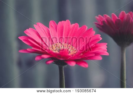 Pink Gerber Flower From A Side