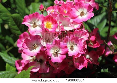 Close-up of pink eglantine roses in a garden