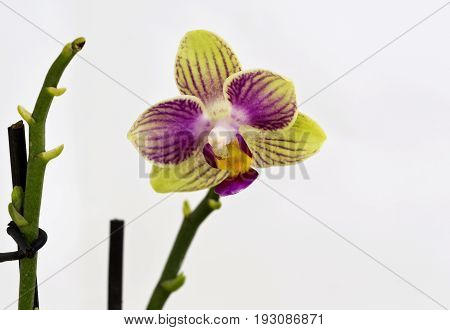 Detail of a yellow and purple Mini Phalaenopsis Orchid flower
