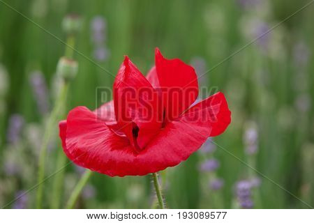 Single red poppy with a defocused background of flowers and green leaves with space for text eg Lest we forget. Poppy is a military symbol remembering those who died in war.