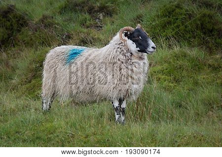 A  profile close up photograph of a sheep with a shaggy fleece standing and posing