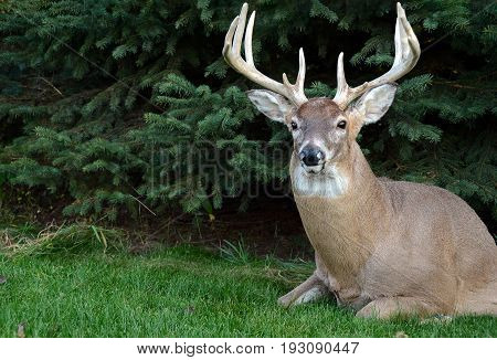 large buck in grass by pine tree with antlers