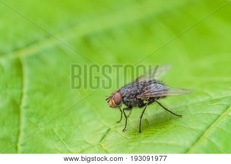 Fly insect on the green leaf. Natural background with limited depth of field.