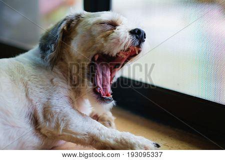 Short hair white shih-Tzu dog being sleepy and yawning at the door