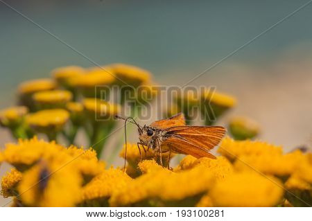 Macro of a European Skipper drinking from a tansy fllower.