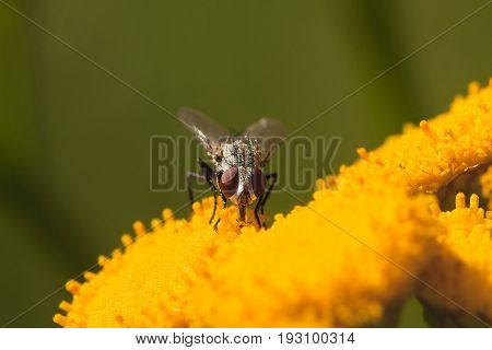 Maco of the front view of a grey fly drinking from a yellow tansy flower.