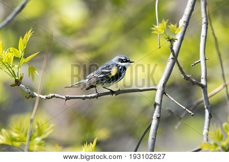 Small Yellow-rumped Warbler Bird Perched in Tree