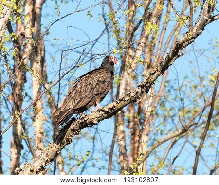 Turkey Vulture Perched in a Tree Against Blue Sky