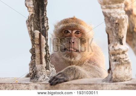 Portrait of a nasty macaque showing teeth and making a face