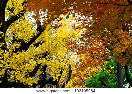 The change concept : Maple leaf on the tree when the leaves change color in Japan Leaves change color