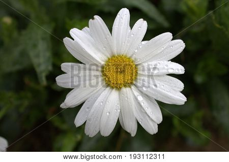 Camomile in the rain White Chamomile Summer rainy day Rain in the garden dew green background